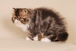 Kocilla*PL, Persians cattery, Persian cats
